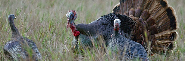 osceola-turkey